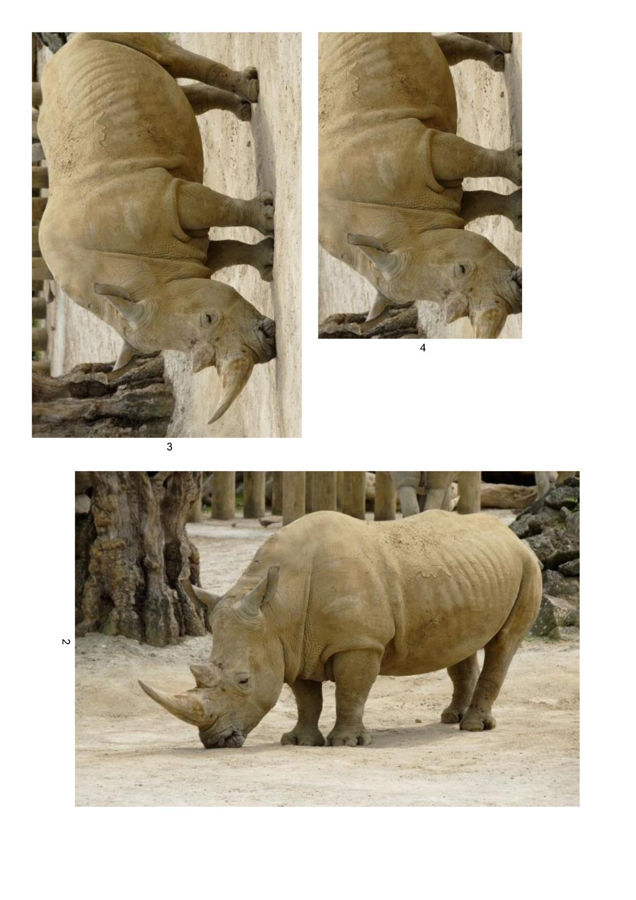 essay on rhinoceros Meaning and definitions of rhinoceros, translation in hindi language for rhinoceros with similar and opposite words a thick-skinned, heavily built, large animal found.