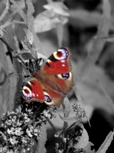 Butterfly: Colour on Grayscale.