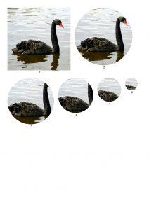 Black Swan Craft Papers.