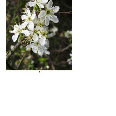 blossom06_lg_oval_a