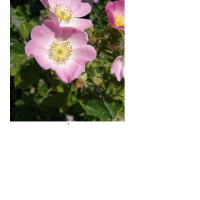 flower06_lg_rec 1_a