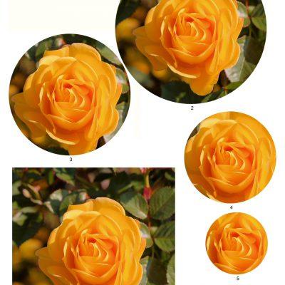 rose09_lg_round