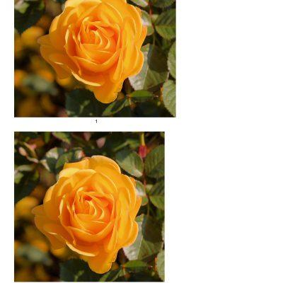 rose10_lg_square_a