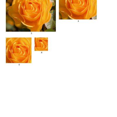rose10_lg_square_b