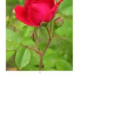 rose11_lg_oval_a