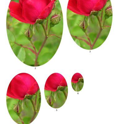rose11_lg_oval_b
