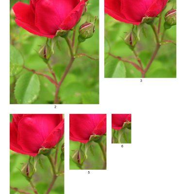 rose12_lg_rec_b