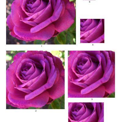 rose18