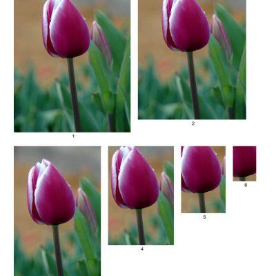 tulip03