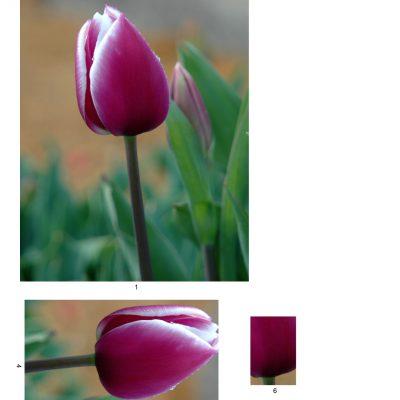 tulip10_lg_rec_a
