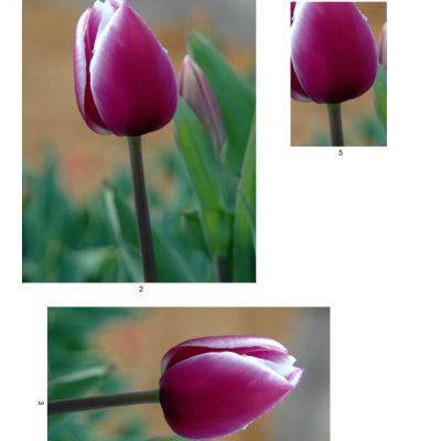 tulip10_lg_rec_b