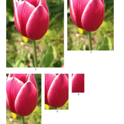 tulip11_lg_rec_b