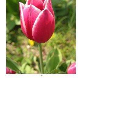 tulip12_lg_oval_a