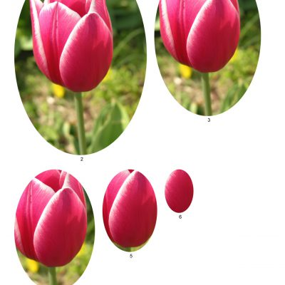 tulip12_lg_oval_b