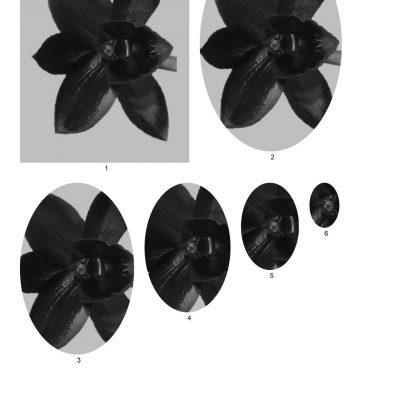 black_orchid_001