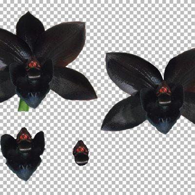 black_orchid_lg