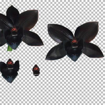 black_orchid_med