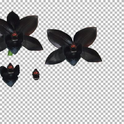 black_orchid_sm